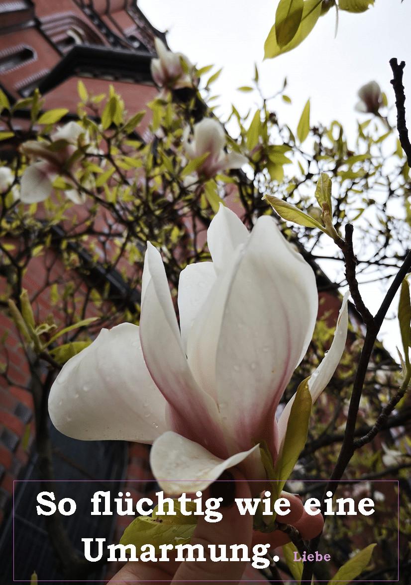 magnolienbaum_Berlin_grossekoepfe.de
