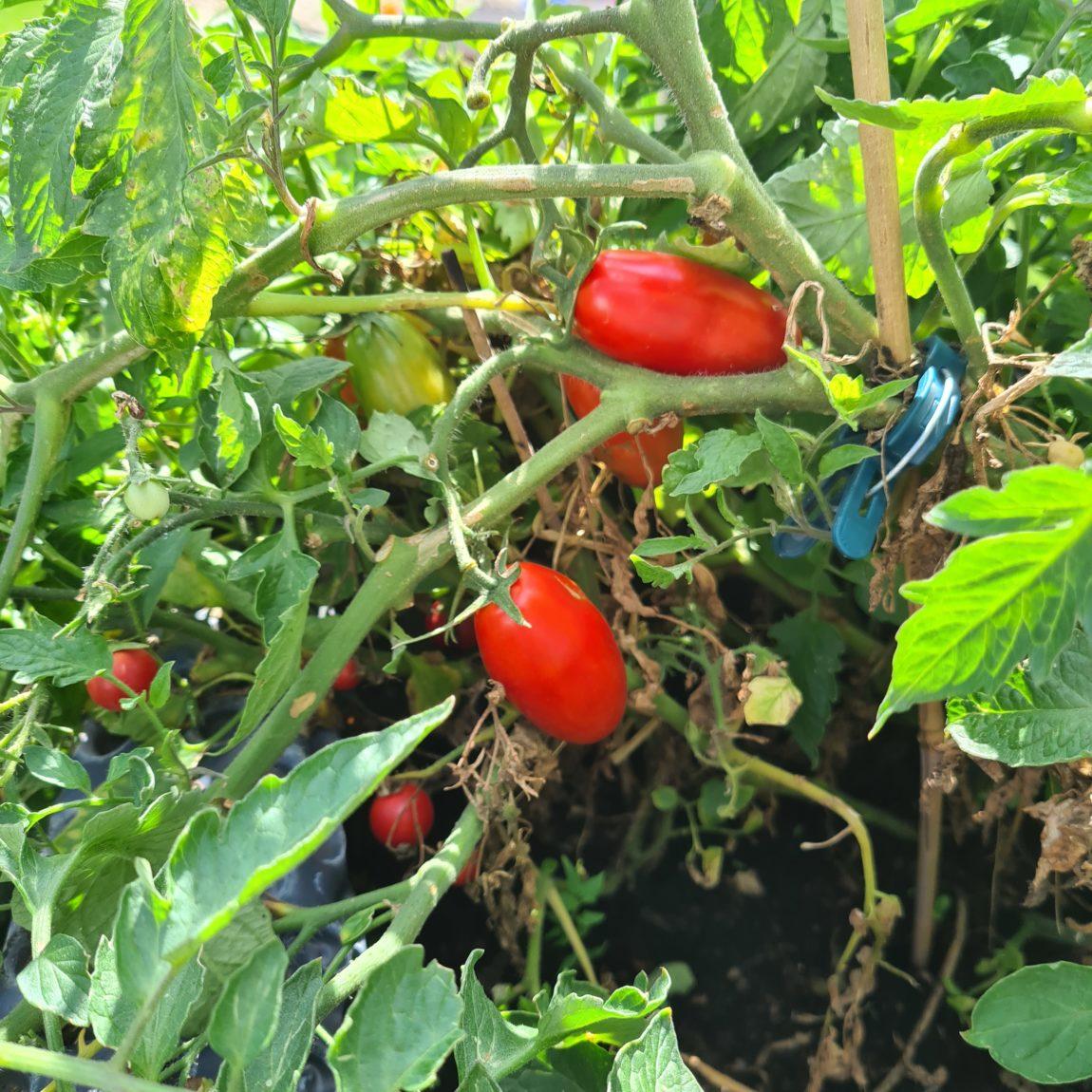 Den Tomaten gefällt das (sie werden gleich gepflückt).