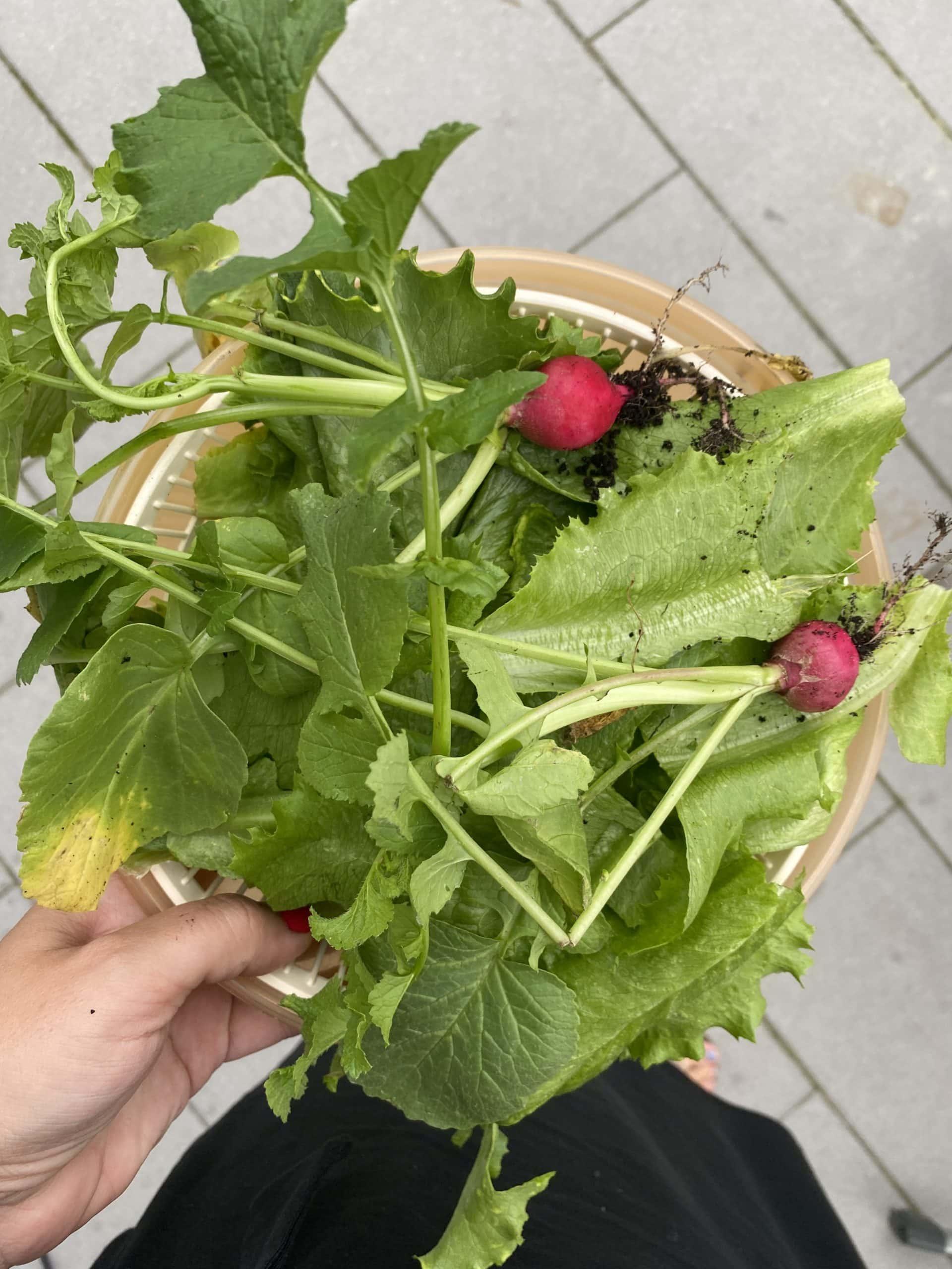 #9 Es folgen Radieschen, Salat, Tomaten und Gurke. Ich liebe meinen Garten.