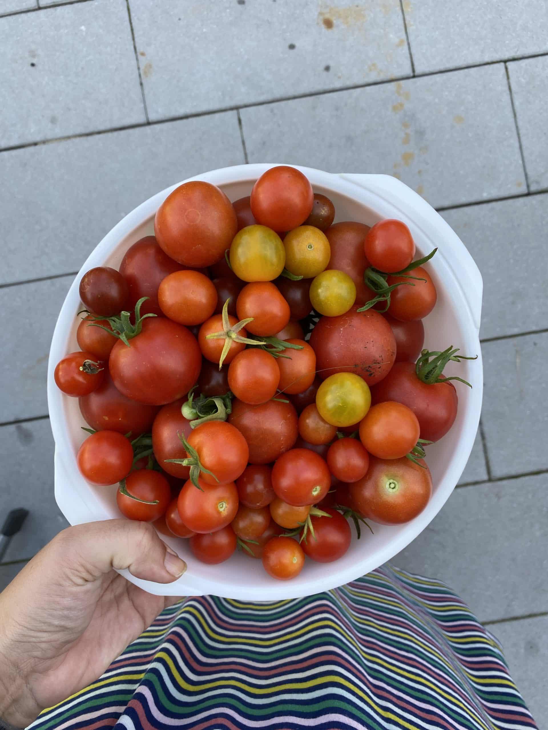 #7 Daheim angekommen muss ich erstmal die Tomaten ernten.