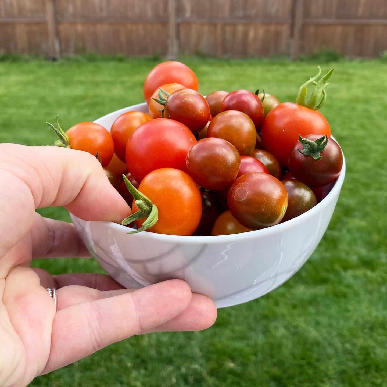 Hallo Samstag. Wir ernten Tomaten aus dem eigenen Garten.