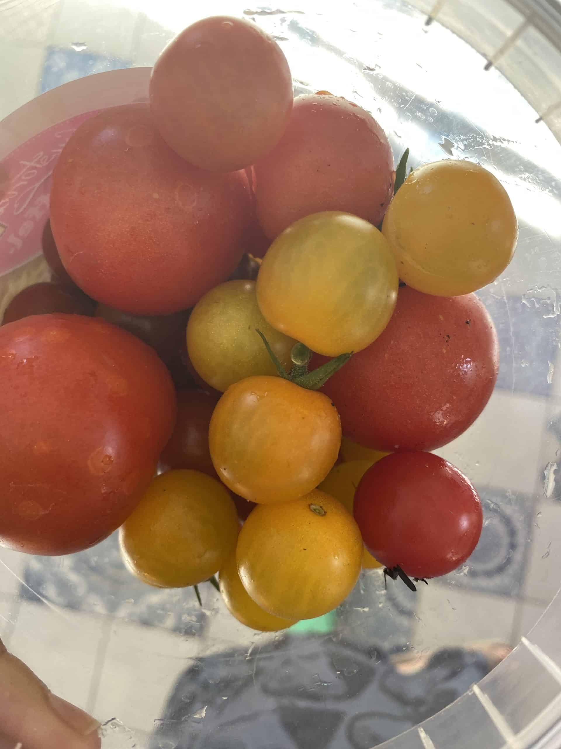 Hallo Sonntag. Ich pflücke Tomaten für den heutigen Workshop.