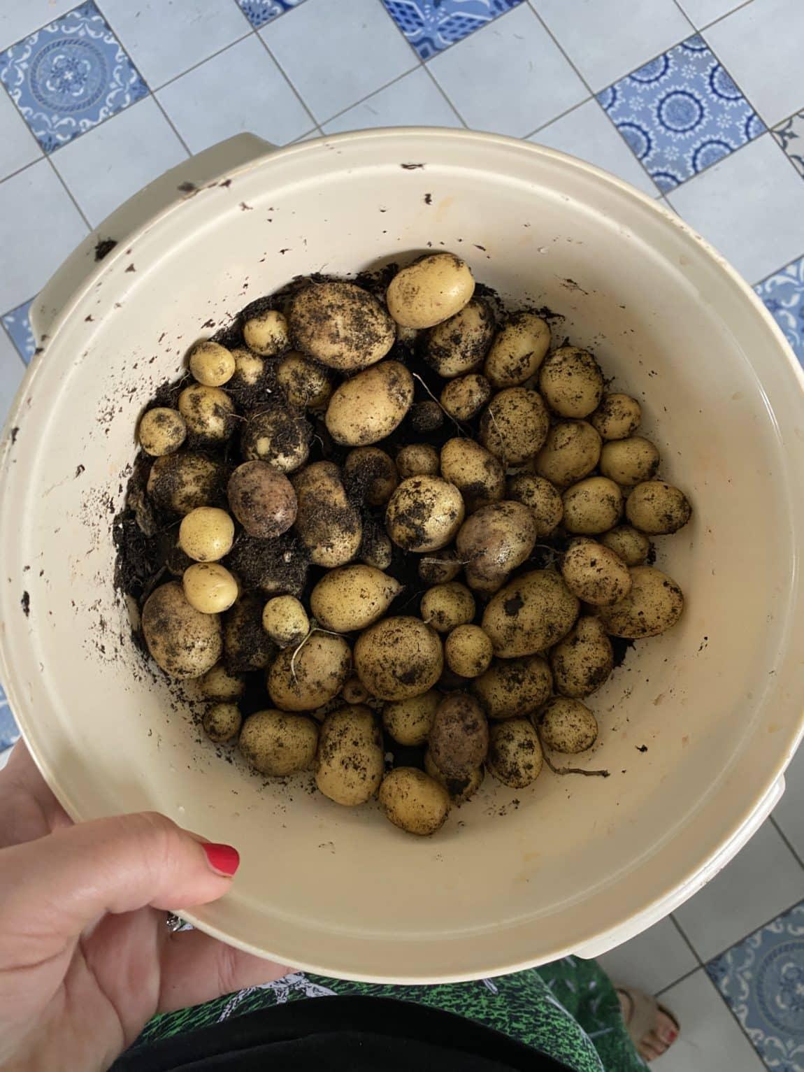 Ich ernte die letzten Kartoffeln, es werden Pellkartoffeln.